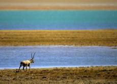 Q-Z-Tibetan-antelope-02