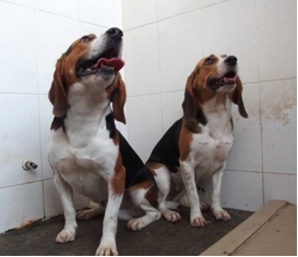 Two beagles (Hercules, left, and Tangou, right) were genetically-modified in a lab in China to be more muscular.